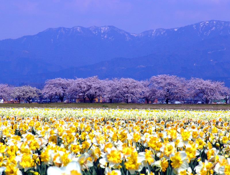 2009年新江の桜 001