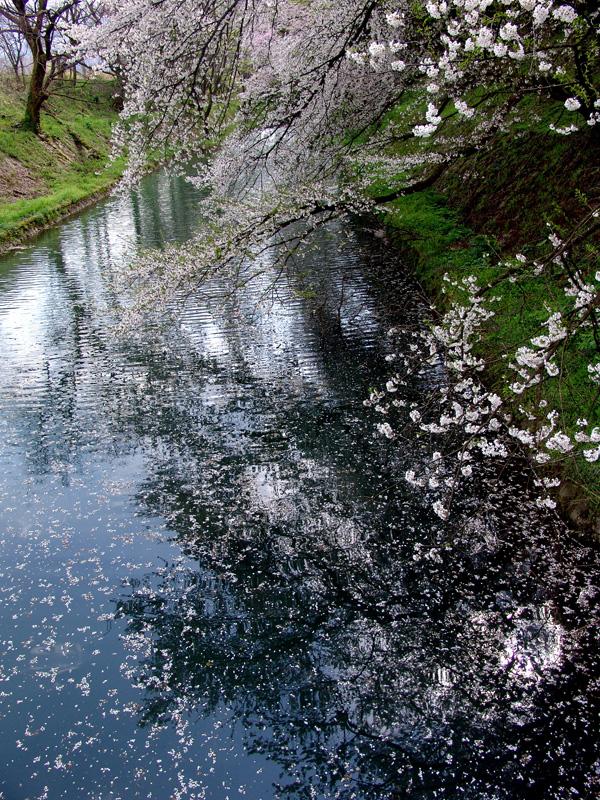 桜20110425 011