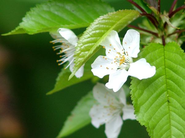 庭の花20110501 014