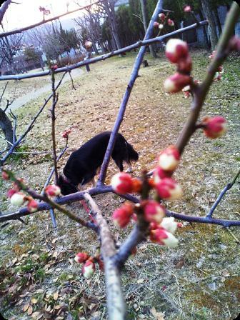 公園の梅 つぼみ