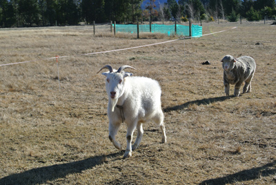 羊の国のラブラドール絵日記シニア!!「相性いろいろ」写真日記3