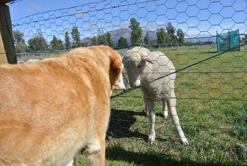 羊の国のラブラドール絵日記シニア!!「苦手克服?」写真1