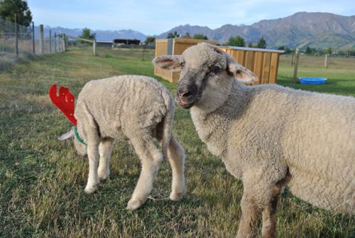 羊の国のラブラドール絵日記シニア!!「写真撮影」4
