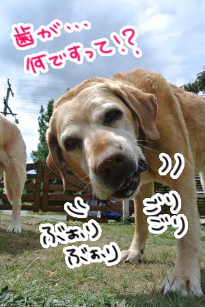 羊の国のラブラドール絵日記シニア!!「週末写真日記」3