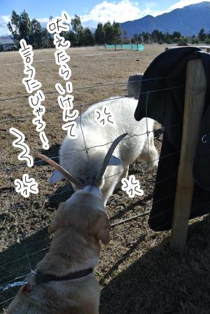羊の国のラブラドール絵日記シニア!!「エビス・ブートキャンプ」写真1