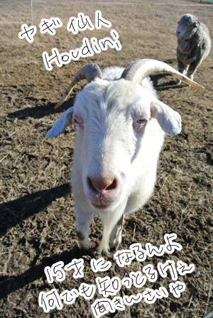 羊の国のラブラドール絵日記シニア!!「エビス・ブートキャンプ」写真5