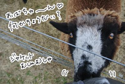 羊の国のラブラドール絵日記シニア!!「縮まる距離」写真日記2