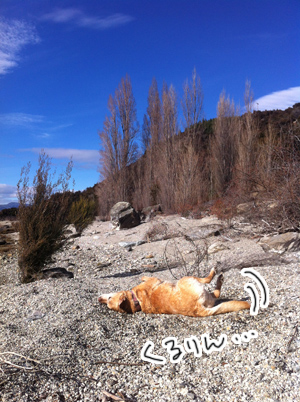 羊の国のラブラドール絵日記シニア!!「犬猫びっくりニュース!」写真日記4