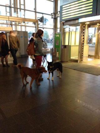 フィンランド犬9