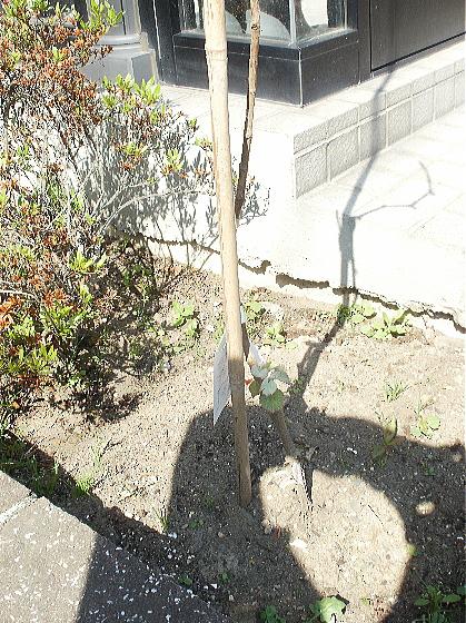 前庭に今年植えたキャンベルアーリーも芽を出しました
