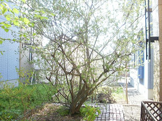グミの木その1