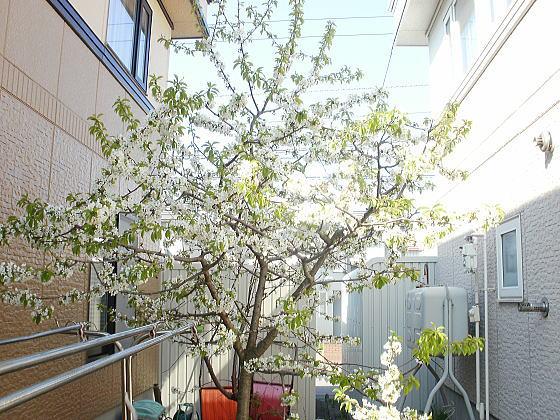 サクランンボの木がきれいな白い花を咲かせました