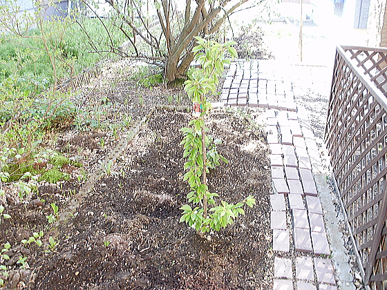 アメリカンチェリーの苗木を植えました