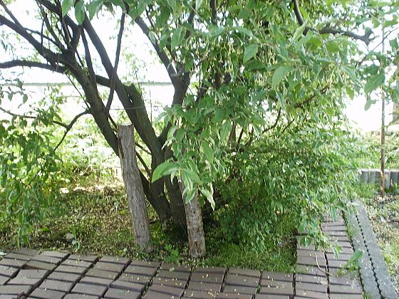 裏庭のグミの木の下に、椎茸栽培用の木を移しました