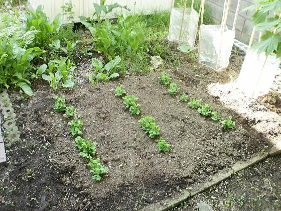 裏庭の畑に植えたスナックエンドウも順調です。