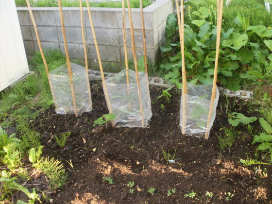 トマトやキュウリの苗を植えました。