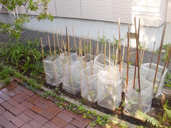 ナスやピーマンやハバネロの苗を植えました。