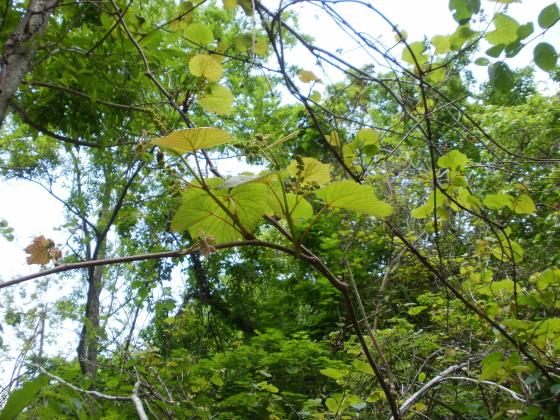 途中でヤマブドウの木を発見しました。