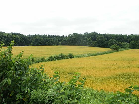 小麦畑ですかね。