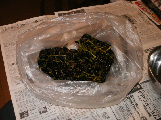 山ぶどうが、ゴミ袋ひとつ採れました