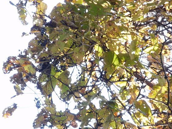 5メートル以上の高さに山ぶどうがたくさんの実をつけています。