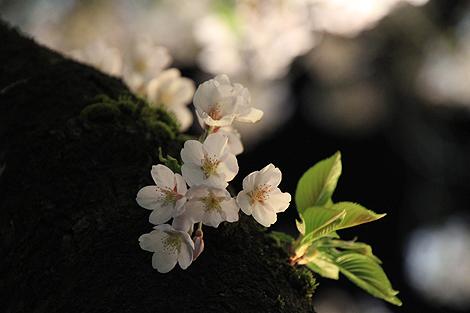 鶴ヶ城夜桜0428 009