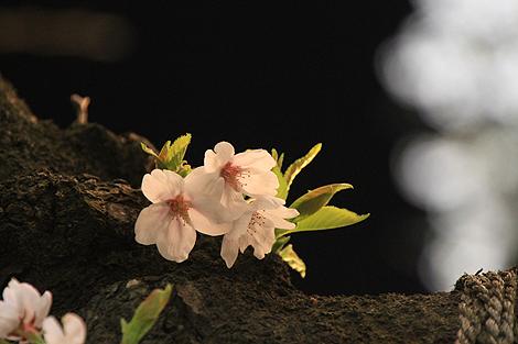 鶴ヶ城夜桜0428 008