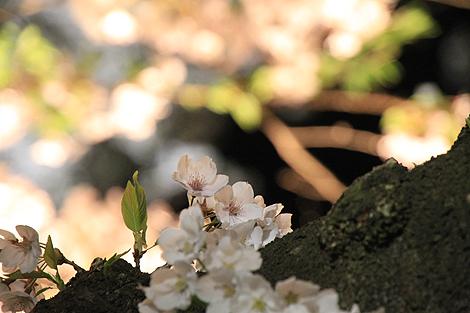 鶴ヶ城夜桜0428 007