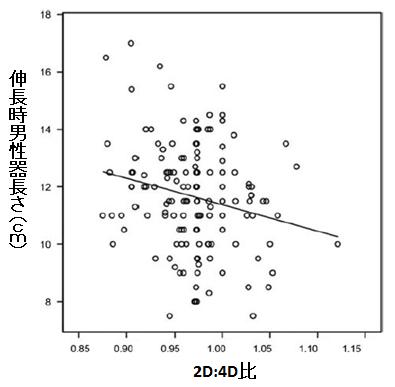 2D:4D比と伸長時男性器長さの関係