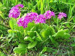250px-Saitama_Tajimagahara_Primula_Sieboldii_Primrose_Habitat_2.jpg