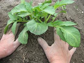 ジャガイモの土寄せ 003