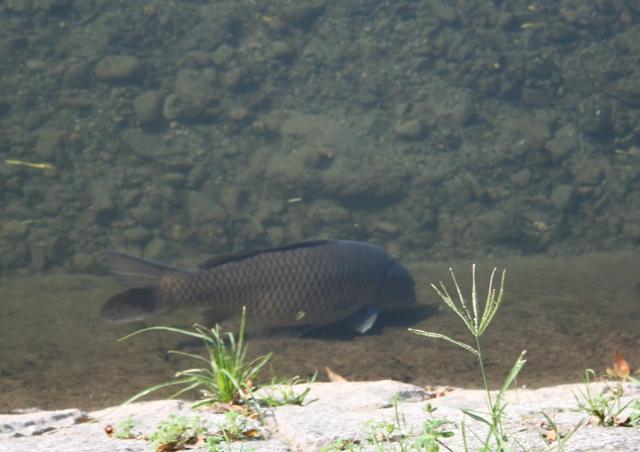 IMG_7601 加茂川の鯉 W