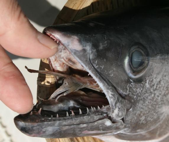 IMG_8296 スジガツオ 口の中に魚が W