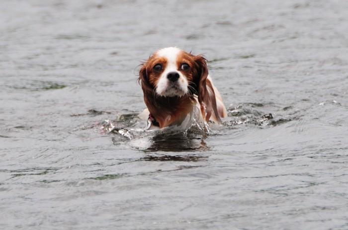 2364チャコちゃんも泳いでます。
