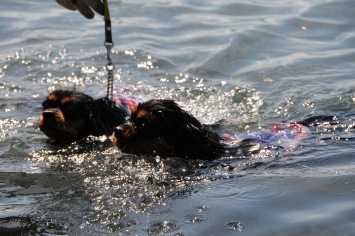 4307本栖湖初泳ぎ。