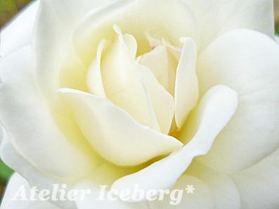 rose2013_014.jpg