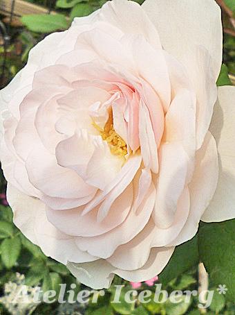 rose2013_105.jpg
