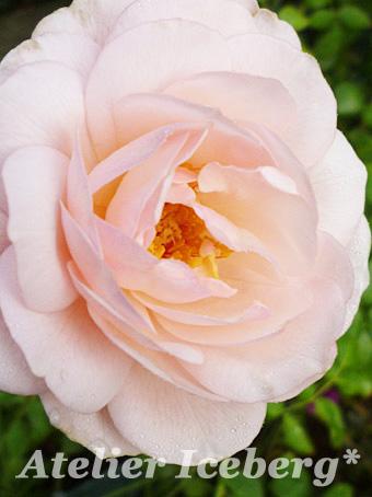 rose2013_106.jpg