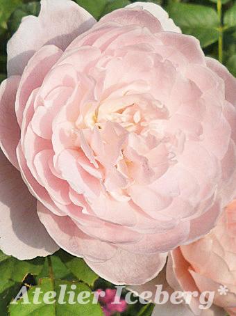 rose2013_406.jpg