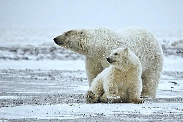 640px Polar Bear ANWR 1
