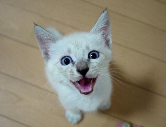 猫が鳴いてる顔って可愛いよね~♪