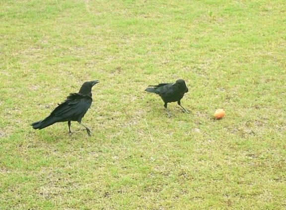 同じカラスかどうか分からないけど、最近2羽でギャーギャー遊んでいるのをよく見かける。