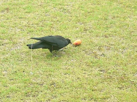 巣立ちしたばかりの若鳥かも。去年まではチワのおもちゃに興味を示すカラスなんて居なかったからなー。
