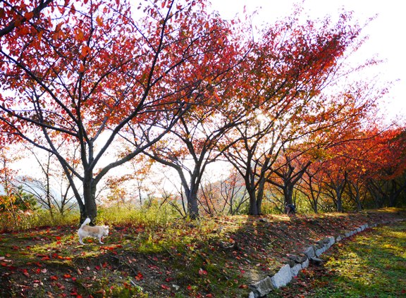 桜もいいし、秋の紅葉も楽しめるなんて、落葉樹って素敵♪(家になったら落ち葉の掃除が大変だけど)