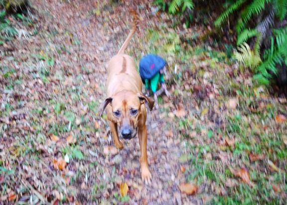 最近、あっちゃんの仕事が忙しくて、なかなか山散歩出来ないシャロリー。