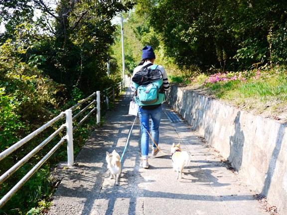 ひーちゃんは右を歩く方が好きらしい。(で、チワは絶対左側)