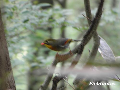 金剛山で出会ったちょっとテブレの派手な鳥