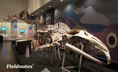 クロミンククジラとタラソメドン[OCEAN! 海はモンスターでいっぱい/大阪市立自然史博物館]