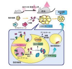 AIMタンパク質の働き