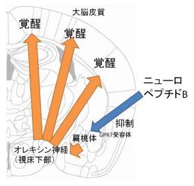 ニューロペプチドBの作用の概念図